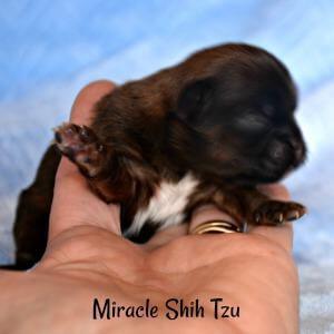 Male brindle colored Shih Tzu Puppy