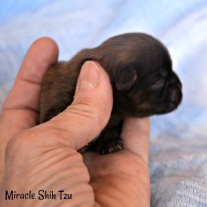 Brindle Colored Baby Shih Tzu boy