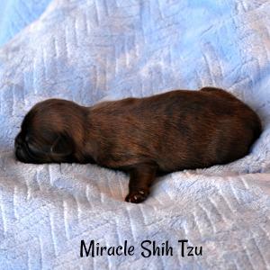 Small newborn Shih Tzu male