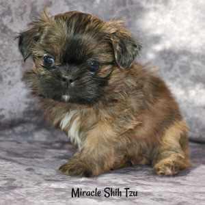 Brindle male Shih Tzu Puppy two