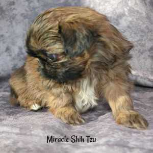 Sweet Shih Tzu male puppy 2