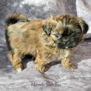 Male Shih Tzu Puppy is checking out his ball