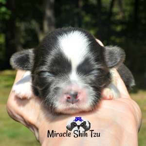 Blue and White Female Shih Tzu puppy available in Ohio, USA