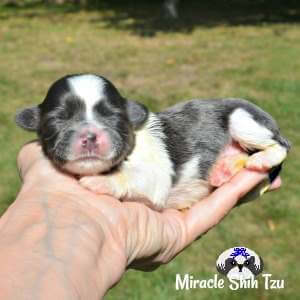 Blue and White Shih Tzu puppy available from Miracle Shih Tzu