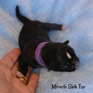 Kanga is a looking to be a black female puppy with white markings