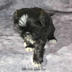 Female Black Shih Tzu Puppy