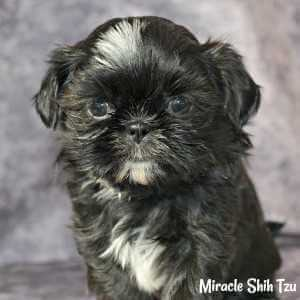 Black female Shih Tzu Playing With her toy.