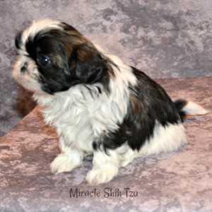 Male Shih Tzu Puppy 3