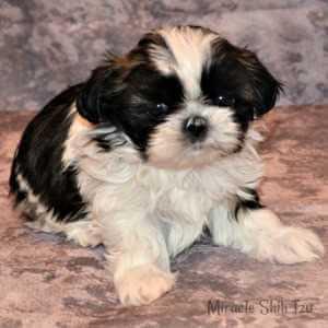 Four-week-old Shih Tzu Puppy