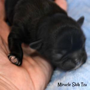 Black newborn Shih Tzu puppy