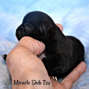 Newborn Shih Tzu boy for sale in Ohio