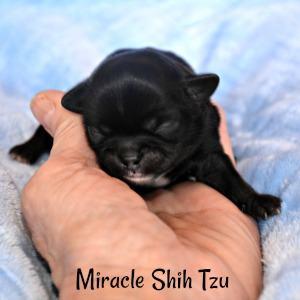 Male Shih Tzu black puppy for sale in NE Ohio
