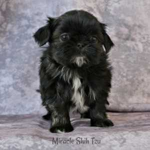 Black Shih Tzu Puppy Checking out the Ball 4