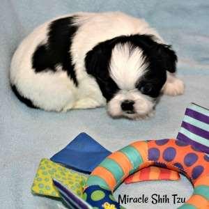 Black and White Shih Tzu boy 1