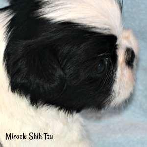 Black and White Shih Tzu boy