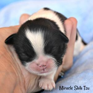 Baby Shih Tzu Puppy available for sale in N.E. Ohio