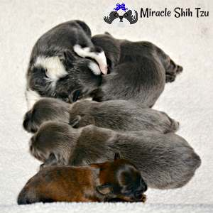 Five-week-old Shih Tzu Puppies, 2 girls, and 3 boys, blues, blue and white, brindle