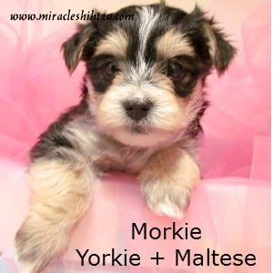 a Morkie is a mix between a Yorkshire Terrier and a Maltese