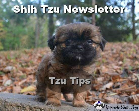 Shih Tzu Newsletter-Tzu Tips