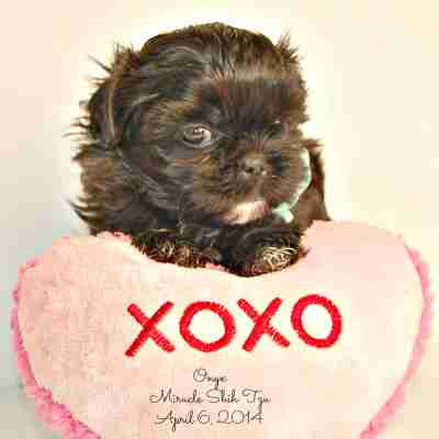 Frequently Asked Questions about Miracle Shih Tzu Puppies