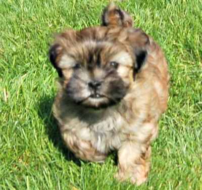 Brindle Colored MalShi Puppy