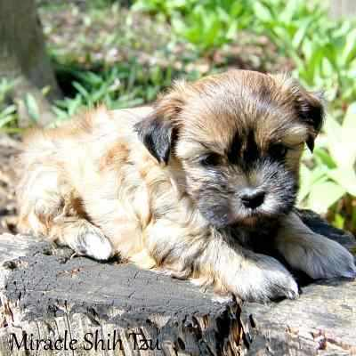 Brindle colored Mal-Shi Puppy