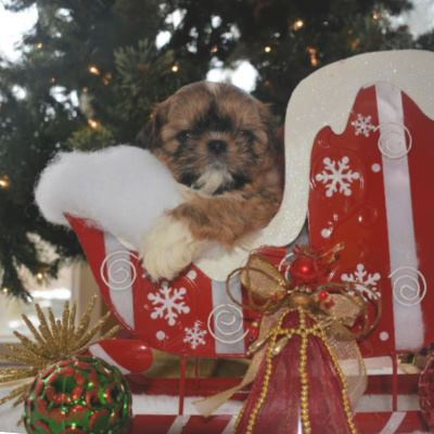 Red Shih Tzu male showing the back hair coat.