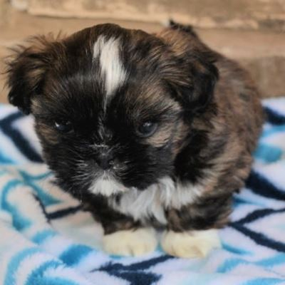 Side view of a Shih Tzu puppy