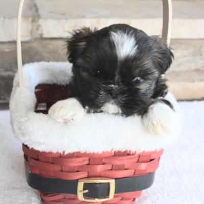 Shih Tzu puppy with a nose that has not turned black yet.