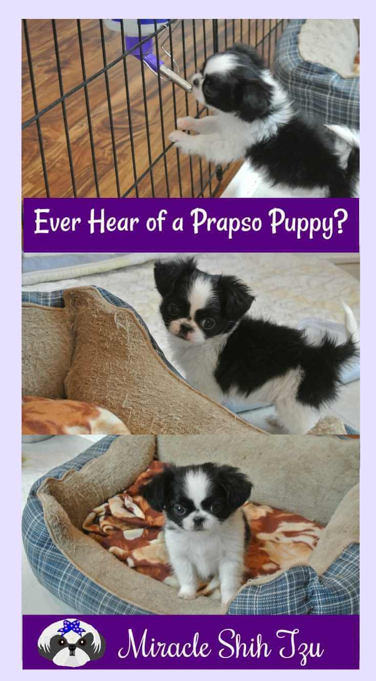 Prapso Puppies -  Miracle Shih Tzu