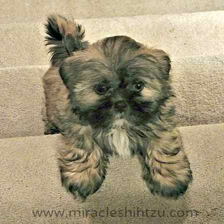 Puppy Video:  Shih Tzu Puppy Jake