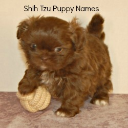 Shih Tzu Puppy Names