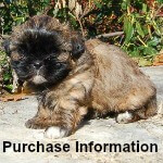 Link to Information about Purchasing a Miracle Shih Tzu puppy