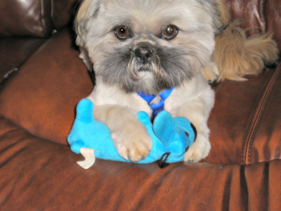 Adult Gold Shih Tzu