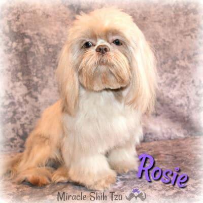 Lavender Shih Tzu girl named Rosie