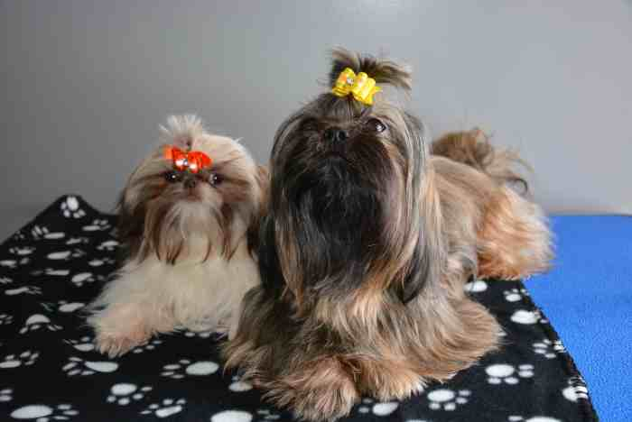 SBI Review for Miracle Shih Tzu