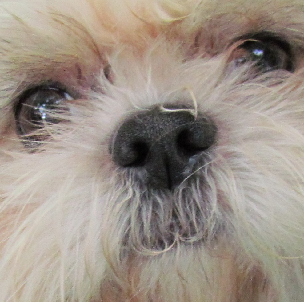 Shih Tzu Eye Problems: What You Should Know