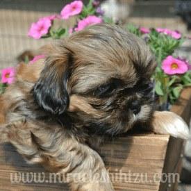 Shih Tzu Puppy Information