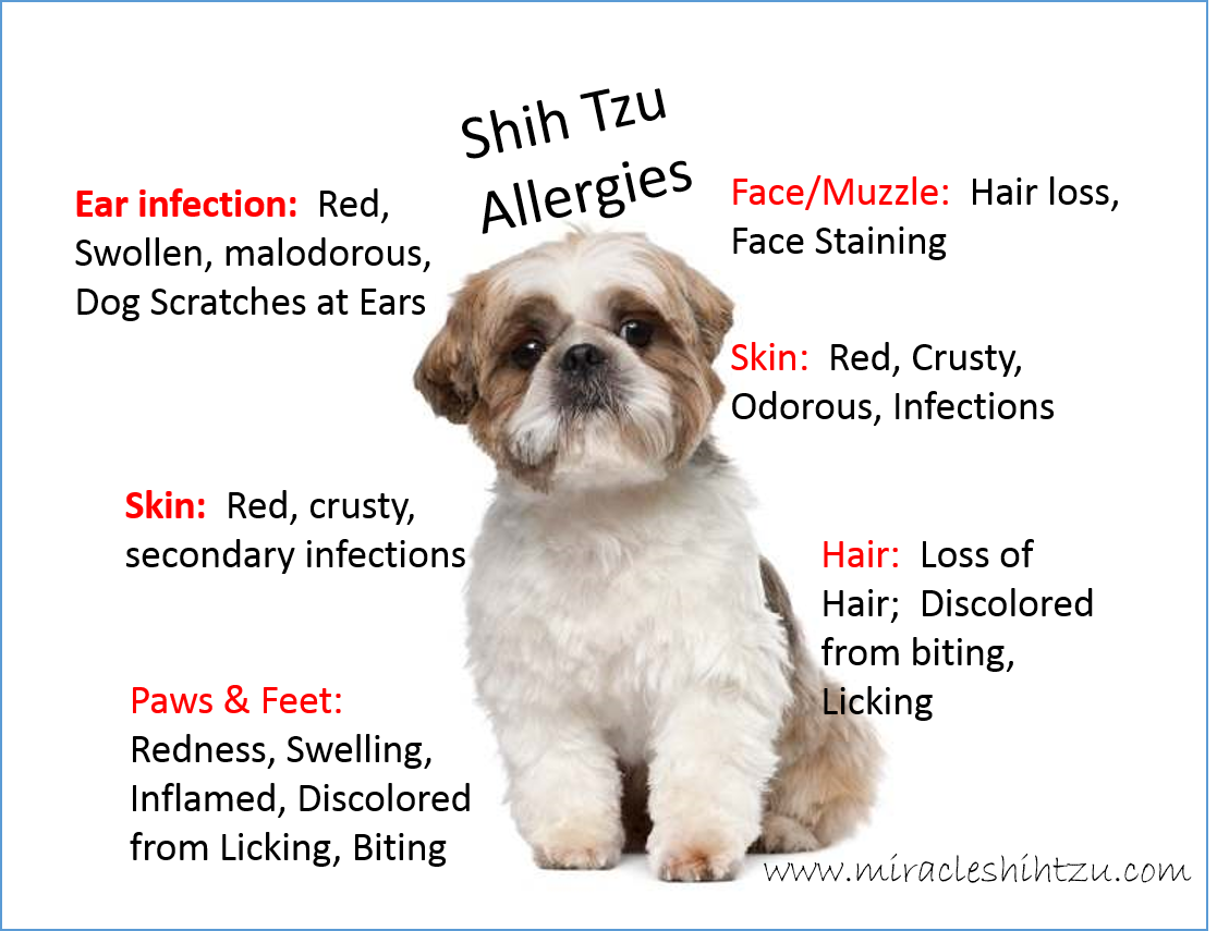 Shih Tzu Allergies: Everything You Must Know | Make Your Own Dog Food Allergies