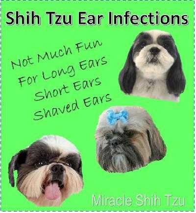 Shih Tzu Dog Ear Infection