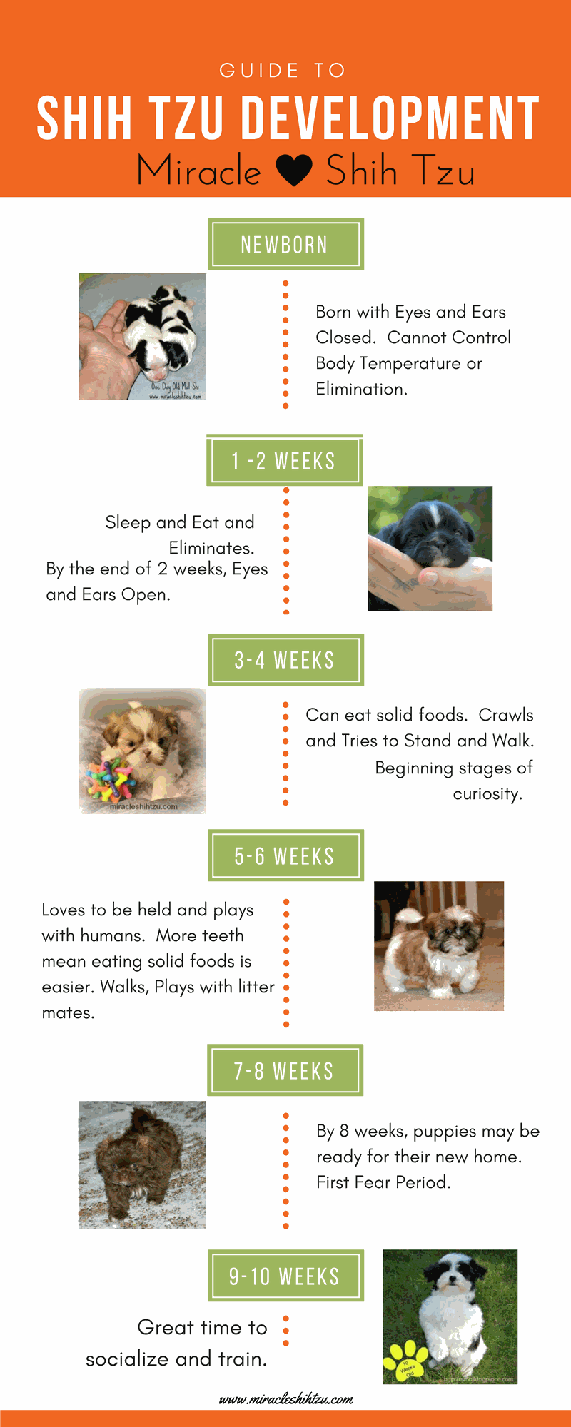Shih Tzu Development Infographic