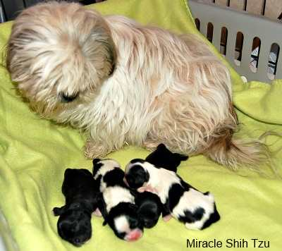 Shih Tzu Facts:  Litter Size
