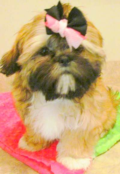 Shih Tzu Facts:  Hypoallergenic Breed