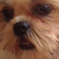 Care for Shih Tzu Eyes