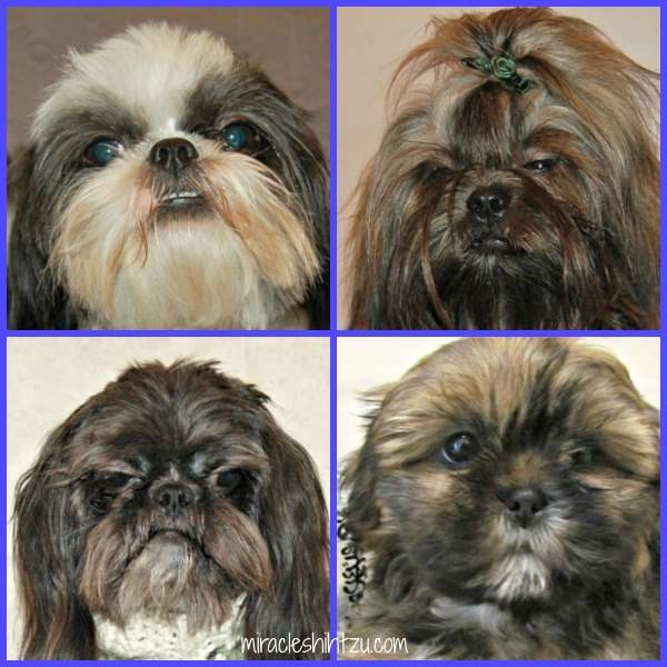 About Shih Tzu Eyes