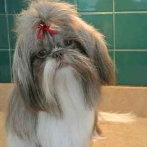 Liver and White Shih Tzu