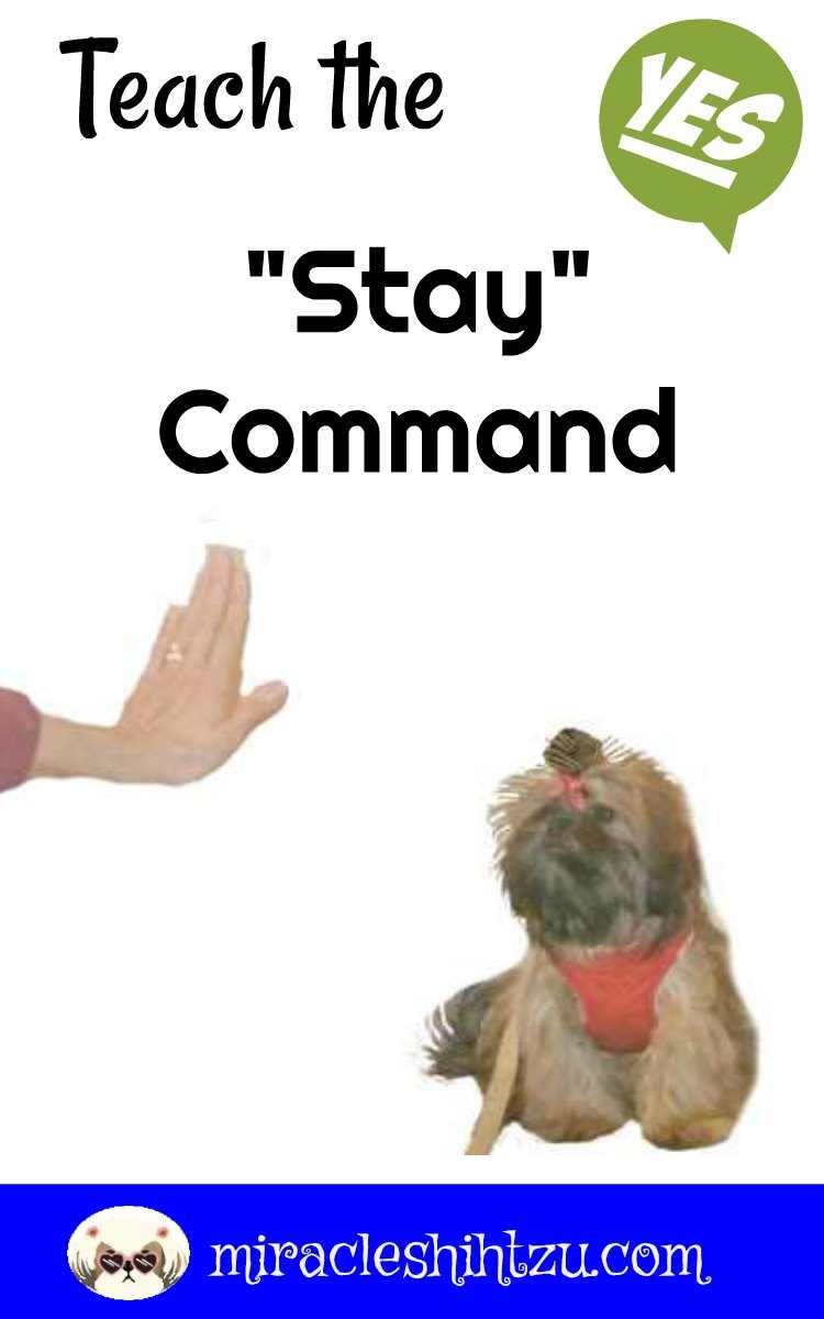 Teach your Shih Tzu to Stay