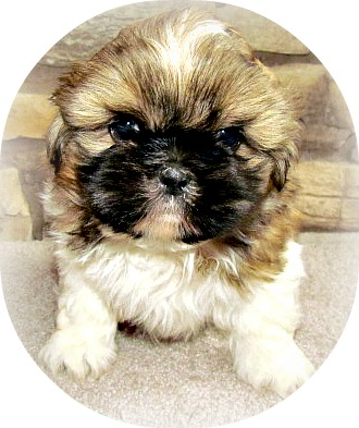 Miracle Shih Tzu Site Map