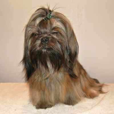 Adult male Shih Tzu