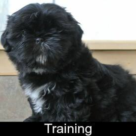 Shih Tzu Training Link